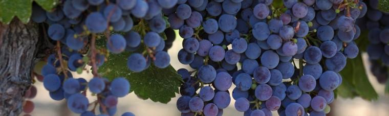 Grapes_2 copy